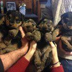 Nuova cucciolata di Welsh Terrier