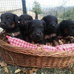 Nuova cucciolata Deutscher Jagd Terrier  del 01.10.17