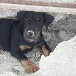 Disponibili cuccioli di Deutscher Jagd Terrier