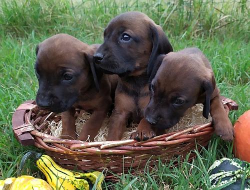 Cuccioli di Segugio Bavarese