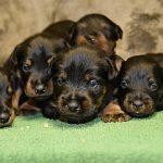 Nuova Cucciolata di Deutscher Jagd Terrier del 21-11-19
