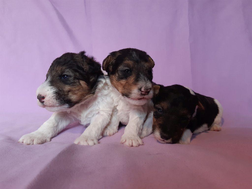 cucciole di Wire Fox Terrier