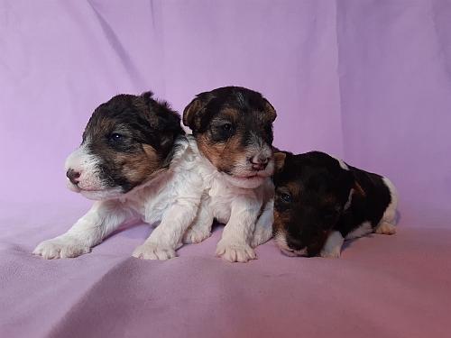 Nuove cucciole di Wire Fox Terrier